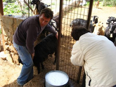 Milking Goats
